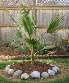 California Palm - These palms are native to southern California and northwest Mexico, growing as high as 30 m in their native habitat.