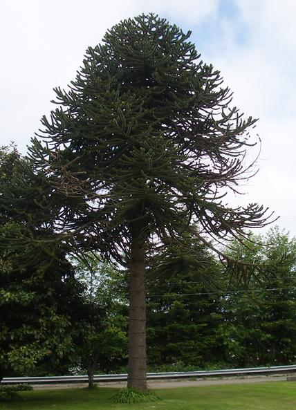 Mature monkey puzzle tree